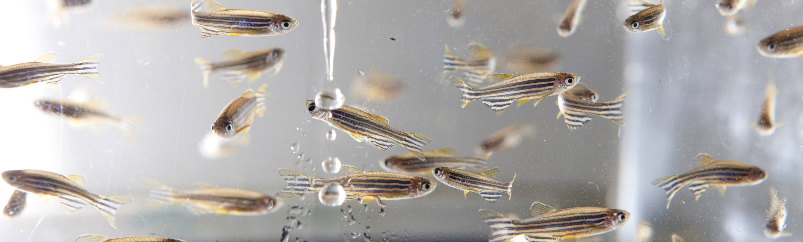 zebrafish_in_tank_crop, Zebrafish, Zebra fish, Zebrafish Core, ZAC, Zebrafish Aquacutlure Core, UNC Core Facility, UNC Core Facilities, Danio rerio
